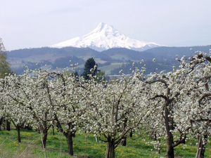 Hood River Valley blooming orchard-credit Flickr McD22