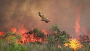 Owl Flying Above Wildfire by USFWS